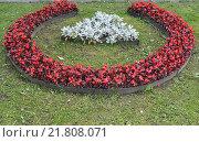 Садовая композиция из бегонии вечноцветущей (Begonia semperflorens Link & Otto) и цинерарии приморской на газоне. Стоковое фото, фотограф Ирина Борсученко / Фотобанк Лори