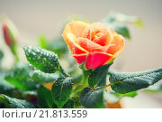 Купить «close up of rose flower», фото № 21813559, снято 3 марта 2015 г. (c) Syda Productions / Фотобанк Лори