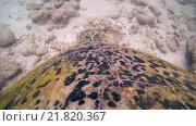 Купить «Зеленая черепаха (Chelonia mydas). Индийский океан, Hikkaduwa, Шри-Ланка, Южная Азия», видеоролик № 21820367, снято 23 января 2016 г. (c) Некрасов Андрей / Фотобанк Лори
