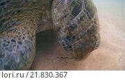 Купить «Зеленая черепаха (Chelonia mydas) ест морскую траву, Индийский океан, Hikkaduwa, Шри-Ланка, Южная Азия», видеоролик № 21830367, снято 23 января 2016 г. (c) Некрасов Андрей / Фотобанк Лори
