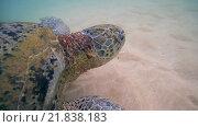 Купить «Зеленая черепаха (Chelonia mydas) плавает над песчаным дном (крупный план), Индийский океан, Hikkaduwa, Шри-Ланка, Южная Азия», видеоролик № 21838183, снято 23 января 2016 г. (c) Некрасов Андрей / Фотобанк Лори