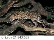 Купить «Tiger Cat or Oncilla, leopardus tigrinus. South America», фото № 21843635, снято 9 июня 2019 г. (c) age Fotostock / Фотобанк Лори