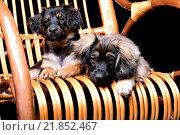 Купить «Два щенка лежат на плетеной качалке», фото № 21852467, снято 13 февраля 2016 г. (c) Стивен Жингель / Фотобанк Лори