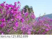 Цветение рододендрона. Стоковое фото, фотограф Евгений Ковешников / Фотобанк Лори