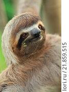 Купить «Perezoso de Tres dedos (Bradypus variegatus) en el Parque Nacional de Corcovado, Peninsula de Osa, Costa Rica.», фото № 21859515, снято 4 июля 2020 г. (c) age Fotostock / Фотобанк Лори