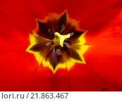 Красный тюльпан. Стоковое фото, фотограф Женя Ивина / Фотобанк Лори