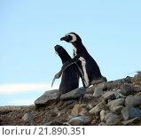 Купить «Колония магеллановых пингвинов на острове Магдалены. Чили», фото № 21890351, снято 21 ноября 2014 г. (c) Free Wind / Фотобанк Лори