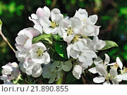 Купить «Цветы яблони крупным планом», фото № 21890855, снято 11 мая 2015 г. (c) Сергей Трофименко / Фотобанк Лори