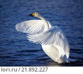 Купить «Лебедь-кликун / Cygnus cygnus - whooper swan», фото № 21892227, снято 19 февраля 2016 г. (c) Serg Zastavkin / Фотобанк Лори