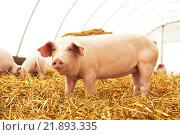 Купить «Young piglet at pig breeding farm», фото № 21893335, снято 23 августа 2012 г. (c) Дмитрий Калиновский / Фотобанк Лори