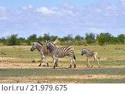 Зебры в природном заповеднике Этоша. Намибия, Африка (2016 год). Стоковое фото, фотограф Знаменский Олег / Фотобанк Лори