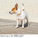 Купить «Джек Рассел терьер (Jack Russell Terrier)», фото № 21980267, снято 18 июня 2012 г. (c) Алёшина Оксана / Фотобанк Лори