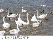Купить «Стая лебедей и уток на озере», фото № 22025619, снято 13 июня 2014 г. (c) Олег Хархан / Фотобанк Лори