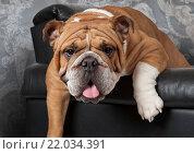 Купить «Английский бульдог лежит в черном кожаном кресле», фото № 22034391, снято 14 февраля 2016 г. (c) Алексей Кузнецов / Фотобанк Лори