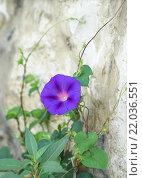 Фиолетовый цветок ипомеи. Стоковое фото, фотограф Dmitry29 / Фотобанк Лори