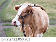 Купить «Корова в поле», фото № 22050903, снято 19 августа 2012 г. (c) Кочеткова Галина / Фотобанк Лори