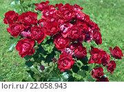 Купить «Beetrose, Black Forest Rose», фото № 22058943, снято 16 августа 2018 г. (c) PantherMedia / Фотобанк Лори