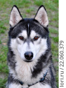 mammal race dog purebred husky. Стоковое фото, фотограф K-H Kolodziej / PantherMedia / Фотобанк Лори