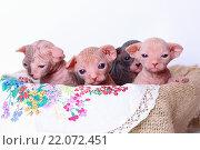 Котята породы Сфинкс. Стоковое фото, фотограф Павел Бурочкин / Фотобанк Лори