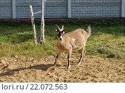 Купить «Козел пасется возле дома», фото № 22072563, снято 16 сентября 2015 г. (c) Елена Коромыслова / Фотобанк Лори