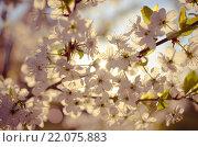 Весеннее цветение. Стоковое фото, фотограф Сергей Бисеров / Фотобанк Лори