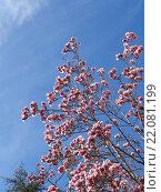Купить «Цветущая магнолия суланжа на фоне голубого неба», фото № 22081199, снято 4 марта 2016 г. (c) DiS / Фотобанк Лори