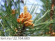 Купить «Сосна горная (лат. Pinus mugo). Хвоя и почки крупным планом», фото № 22104683, снято 7 июня 2015 г. (c) Сергей Трофименко / Фотобанк Лори
