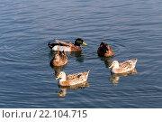 Купить «Плавающие утки», фото № 22104715, снято 20 ноября 2015 г. (c) Татьяна Ляпи / Фотобанк Лори