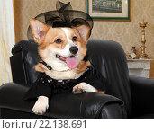 Купить «Собака породы вельш корги пемброк сидит в кресле», фото № 22138691, снято 8 марта 2016 г. (c) Алексей Кузнецов / Фотобанк Лори