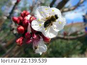 Пчела на цветке яблони. Стоковое фото, фотограф Юстасия Щурова / Фотобанк Лори