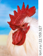 Side View of a Rooster with a Bright Red Comb. Стоковое фото, фотограф ALIAKSANDR KAZANTSAU / PantherMedia / Фотобанк Лори