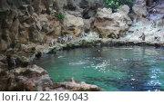Купить «Колонния Антарктических пингвинов (Chinstaps) в пингвинариуме. Зоопарк Лоро (Loro). Пуэрто де ла Круз (Puerto de la Cruz), Тенерифе, Канарские острова, Испания», видеоролик № 22169043, снято 5 февраля 2016 г. (c) Кекяляйнен Андрей / Фотобанк Лори