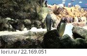 Купить «Королевские пингвины в пингвинариуме Планета Пингвинов в Лоро-парке, Тенерифе, Канарские острова, Испания», видеоролик № 22169051, снято 5 февраля 2016 г. (c) Кекяляйнен Андрей / Фотобанк Лори