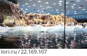 Купить «Четыре колонии пингвинов в пингвинариуме Планета Пингвинов в Лоро-парке, Тенерифе, Канарские острова, Испания», видеоролик № 22169107, снято 5 февраля 2016 г. (c) Кекяляйнен Андрей / Фотобанк Лори
