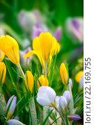 Купить «Крокусы желтые (Сrocus vernus)», фото № 22169755, снято 12 марта 2018 г. (c) Татьяна Белова / Фотобанк Лори