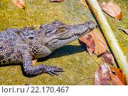 Купить «Крокодил», эксклюзивное фото № 22170467, снято 26 октября 2015 г. (c) Хайрятдинов Ринат / Фотобанк Лори