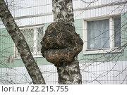 Кап на березе возле дома. Стоковое фото, фотограф Сергей Махан / Фотобанк Лори