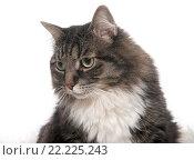 Купить «Портрет кошки», фото № 22225243, снято 5 ноября 2015 г. (c) Olesya Tseytlin / Фотобанк Лори