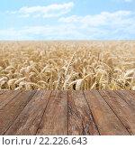 Купить «field of ripening wheat ears or rye spikes», фото № 22226643, снято 14 февраля 2014 г. (c) Syda Productions / Фотобанк Лори