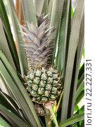Купить «Зелёный ананас», фото № 22227331, снято 10 августа 2010 г. (c) Вячеслав Светличный / Фотобанк Лори
