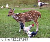 Купить «Детеныш оленей и курицы», фото № 22227999, снято 25 апреля 2012 г. (c) Куликов Константин / Фотобанк Лори