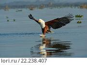 Купить «Орел ловит рыбу», фото № 22238407, снято 1 января 2012 г. (c) Эдуард Кислинский / Фотобанк Лори