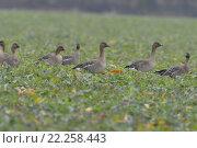 Купить «school field goose engulf devour», фото № 22258443, снято 17 июля 2019 г. (c) PantherMedia / Фотобанк Лори