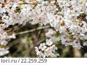 Купить «Alishan cherry blossom season with nice color, Taiwan», фото № 22259259, снято 19 сентября 2019 г. (c) PantherMedia / Фотобанк Лори