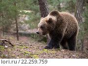 Купить «brown bear (Ursus arctos) in winter forest», фото № 22259759, снято 26 мая 2019 г. (c) PantherMedia / Фотобанк Лори