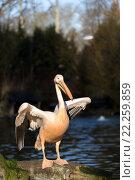 Купить «rare Spot-billed pelican, Pelecanus philippensisin», фото № 22259859, снято 26 мая 2019 г. (c) PantherMedia / Фотобанк Лори