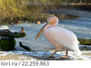 Купить «rare Spot-billed pelican, Pelecanus philippensisin», фото № 22259863, снято 26 мая 2019 г. (c) PantherMedia / Фотобанк Лори