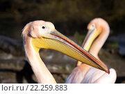 Купить «rare Spot-billed pelican, Pelecanus philippensisin», фото № 22259883, снято 26 мая 2019 г. (c) PantherMedia / Фотобанк Лори