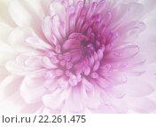 Купить «Gerbera daisy purple and sweet color», фото № 22261475, снято 23 февраля 2019 г. (c) PantherMedia / Фотобанк Лори