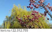 Купить «Зеленая листва на плакучей иве и цветущее дерево магнолии суланжа», фото № 22312755, снято 10 марта 2016 г. (c) DiS / Фотобанк Лори